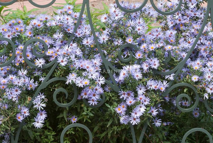 Aster oblongifolius 'October Skies' peeping through iron fence aka more properly Symphyotrichum oblongifolium