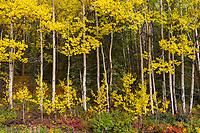 Aspen trees and autumn colors of the boreal forest floor, Denali National Park, Interior, Alaska.