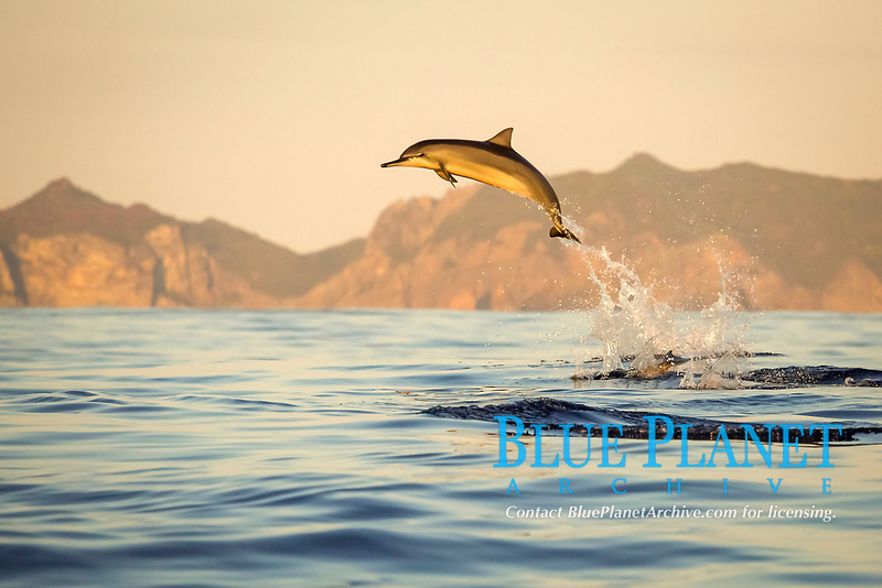 spinner dolphin, Stenella longirostris, jumping, leaping, at sunset, Chichi-jima, Bonin Islands, Ogasawara Islands, UNESCO World Heritage Site, Japan, Pacific Ocean
