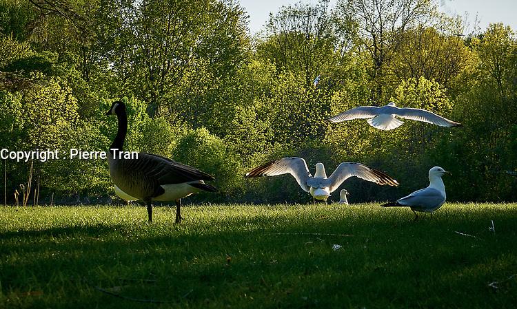 Animaux dans la nature a Montreal et les environs, 2021 - goelands<br /> <br /> Photo : Pierre Tran - AQP