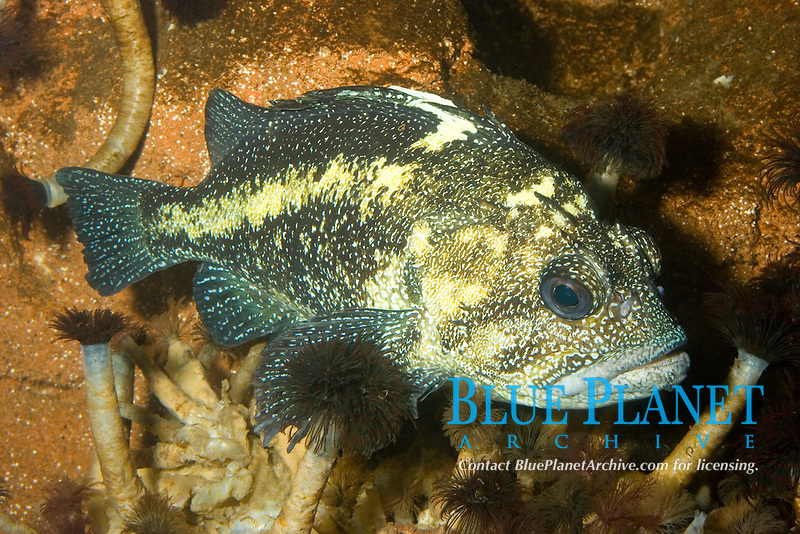 China Rockfish (Sebastes nebulosus) Pacific Ocean (c)(do)