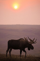 moose, Alces alces, bull with large antlers and the silhouette from smoke, Denali National Park,, Alaska, USA