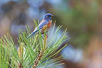 Western Bluebird (Sialia mexicana). Deschutes County, Oregon. May.