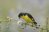 Lesser Goldfinch, Carduelis psaltria, black-backed male eating seeds of Spiny Sow-Thistle (Sonchus asper), Uvalde County, Hill Country, Texas, USA