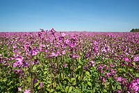 12m conservation headland - Norfolk, MAy
