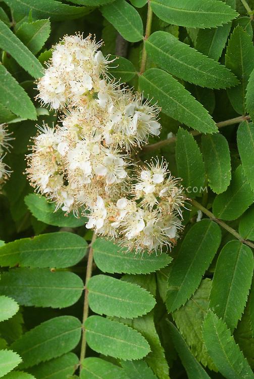 Sorbus americana in spring flower, native American shrub tree, northern mountain ash