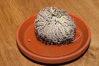 Unechte Rose von Jericho, Auferstehender Moosfarn, Auferstehungspflanze, eine poikilohydre, poikilohydrische Pflanze, wechselfeuchte Pflanze, die bei Trockenheit vertrocknet und sobald es feucht wird ergrünt, Schritt 1: eingetrocknete Pflanze wird gegossen, Selaginella lepidophylla, Resurrection Plant, Rose-of-Jericho, Moosfarngewächse, Selaginellaceae