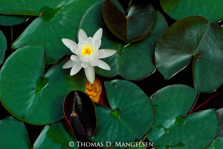 A single water lily sits among lily pads on Salmon Lake in Montana.