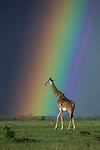 Giraffe walks past rainbow by Jayanth Sharma