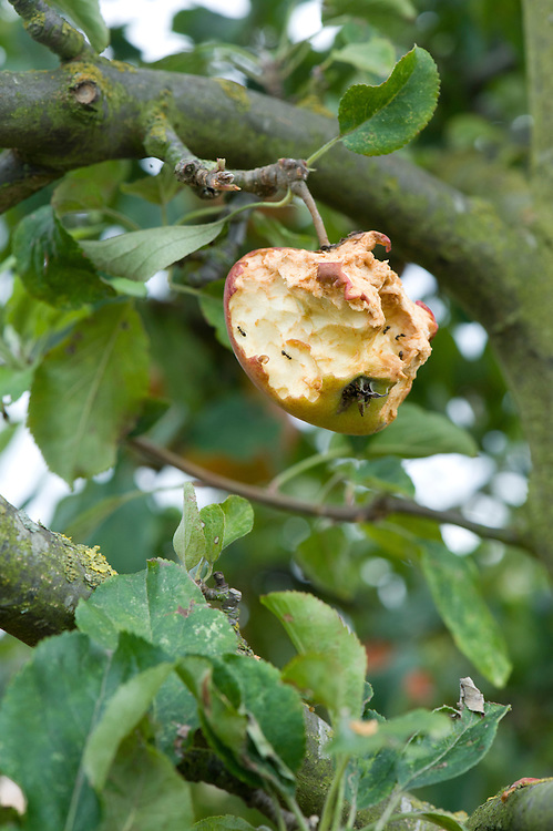 Damage caused to a ripening apple by birds, mid September.