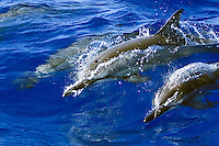 Hawaiian spinner dolphins (Stenella longirostris longirostris) wave-riding near the Kona Coast, Big Island, Hawai'i