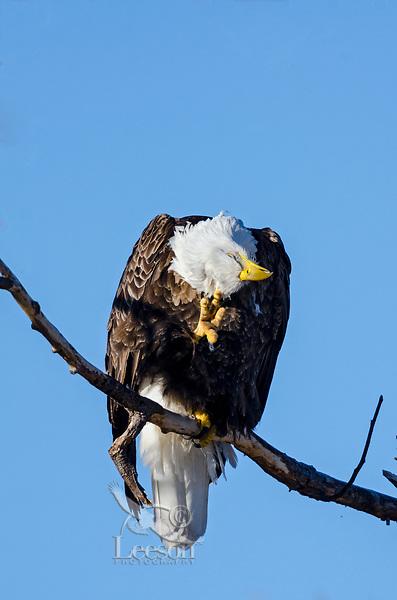 Bald Eagle (Haliaeetus leucocephalus) scratching head using talon, Lower Klamath National Wildlife Refuge, Oregon-California Border.  February.