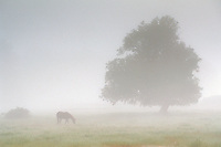 lone horse and oak tree in grass field pasture in fog, near Willits, Mendocino County, Northern California.
