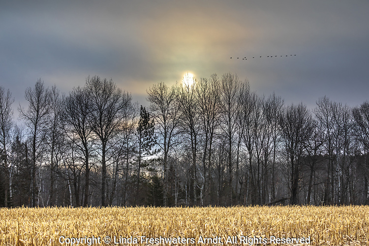 Canada geese flying over a cut cornfield in northern Wisconsin.