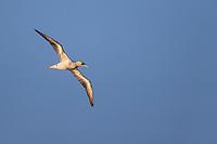 Northern Gannet (Morus bassanus), adult in flight off Nckerson Beach Park, Lido, New York.