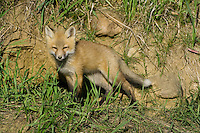 Red Fox Kit watching from outside its den