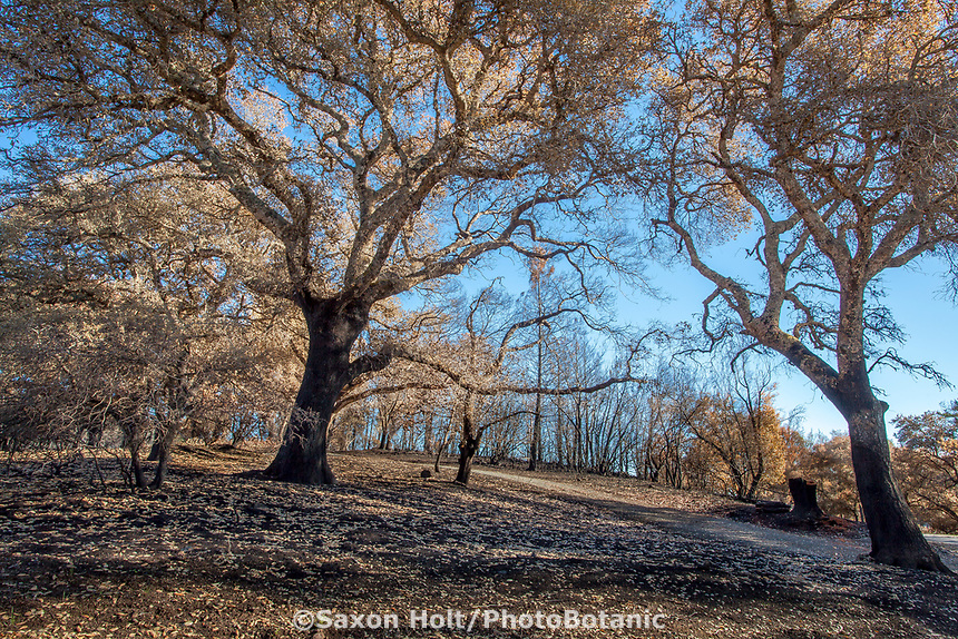 Burned Oaks in California native landscape, recovery after 2017 Sonoma  fires, Pepperwood Preserve