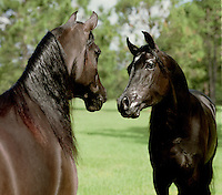 Two Arabian stallions snort and blow as they nose up to each other in paddock. horses, equine, animals. #812 Stallion confrontation.