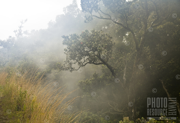 Steam rising through the ohia lehua trees at Volcanoes National Park