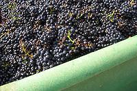 pinot noir harvest crate clos des langres ardhuy nuits-st-georges cote de nuits burgundy france