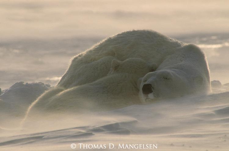 A polar bear cub sleeps cuddled up against its mother at Hudson Bay in Manitoba, Canada.