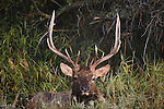 Bull elk bedded in brush