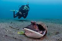 Coconut octopus (Amphioctopus marginatus) with diver in background