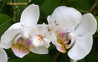 "1M24-501z  Malaysian Orchid Mantis - Hymenopus coronatus ""Nymph, camouflaged on orchids"