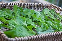 Löwenzahn-Blätter, frisch geerntete Blätter werden auf einem Tablett getrocknet, trocknen, Trocknung, Löwenzahnblätter, Blätter, Blatt, Löwenzahn-Ernte, Löwenzahnernte, Kräuterernte, Kräuter sammeln, Löwenzahn, Wiesen-Löwenzahn, Wiesenlöwenzahn, Gemeiner Löwenzahn, Gewöhnlicher Löwenzahn, Kuhblume, Taraxacum officinale, Taraxacum sect. Ruderalia, Dandelion, common dandelion, leaf, leaves, Dent de lion