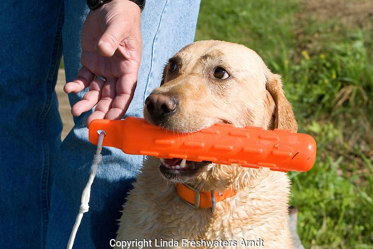 Man's hand reaching for the Yellow Labrador retriever's (AKC) orange dummy