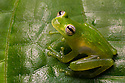 Chiriqui Glass Frog {Teratohyla pulverata}  Drake Bay, Osa Peninsula, Costa Rica, May.