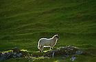 June 6, 2012; Sheep, Inishark Island, Ireland..Photo by Matt Cashore/University of Notre Dame