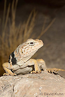 0612-1019  Great Basin Collared Lizard (Mojave Black-collared Lizard), Crotaphytus bicinctores  © David Kuhn/Dwight Kuhn Photography