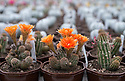 """16/05/16 <br /> <br /> Lincoln Flame (centre).<br /> <br /> Britain's biggest cactus grower attributes the recent hot weather for his current winning streak at national flower shows, something he hopes to repeat later this month at RHS Chelsea.<br /> <br /> Full story here:  http://www.fstoppress.com/articles/winning-streak-for-blooming-cactus/<br /> <br /> .But a few days ago it was almost too hot for his prickly blooms and he had to pump in cooler air from outside to cool down his giant 22,000 sq ft greenhouse.<br /> <br /> And now, as you enter the greenhouse, you're met with a brilliant display of colour, almost every cactus is in full bloom, a patchwork of bright yellow and orange, subtle pinks and deep red flowers.<br /> <br /> """"There's probably about one hundred thousand plants in here, and most of them are already showing flowers,"""" said owner Bryan Goody, who runs the nursery with his wife Linda and daughter Eleanor.<br /> <br /> <br /> All Rights Reserved: F Stop Press Ltd. +44(0)1335 418365   +44 (0)7765 242650 www.fstoppress.com"""