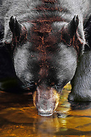 Large Black Bear (Ursus americanus) boar drinks from small stream.  Upper Great Lakes region.