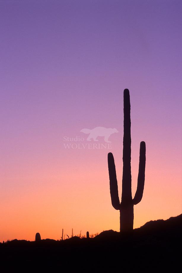 Saguaro cactus (Carnegiea gigantea)  in het speciale licht van de vroege morgen, Arizona