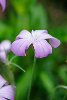 Agrostemma Gracilis (Slender Corncockle)