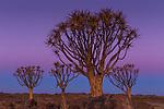 Quiver tree or kokerboom, Karas Region, Namibia