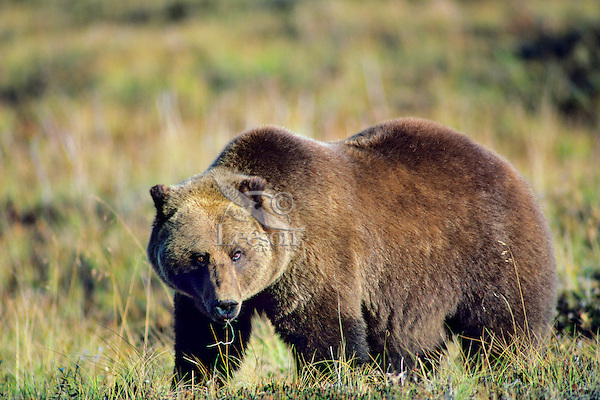 Grizzly Bear (UA) Alaska tundra.