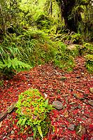 Southern rata flowers on forest floor, Westland Tai Poutini National Park, UNESCO World Heritage Area, West Coast, South Westland, New Zealand, NZ