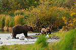 Two cubs hurry to their mother grizzly bear, Ursus arctos horribilis, who has a salmon on shore for them to eat.