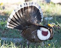 Dusky grouse displaying
