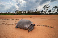 A Gopher Tortoise (Gopherus polyphemus) crosses a dirt road in a scrubby pine flatwoods habitat in Highlands Hammock State Park in Sebring, Florida.  The Gopher Tortoise, a threatened species due to habitat destruction, is the state tortoise of Florida.