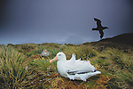 Wandering Albatross, King Haakon Bay, South Georgia Island, UK