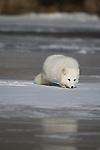 Arctic fox (Alopex lagopus) walking on the snow/ice