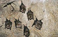 Große Hufeisennase, Fledermaus, Fledermäuse hängen tagsüber an der Decke einer Felshöhle, Rhinolophus ferrumequinum, Greater horseshoe bat, Sardinien, Italien