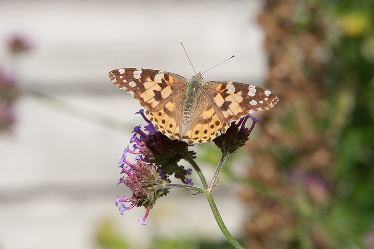 Painted Lady butterfly (Vanessa (Cynthia) cardui) on Verbena bonariensis, mid August.