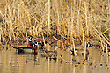 00315-063.01 Blue-winged Teal pair and two drake wood ducks on the water of pothole.  Cattails, prairie, marsh, hunt, jump.