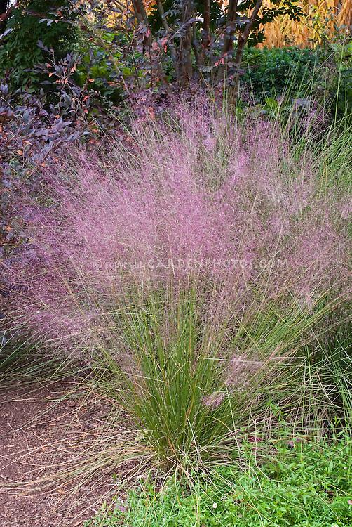 Ornamental grass Muhlenbergia capillaris Regal Mist in pink flower in autumn