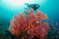 Huge gorgonian fan coral with diver at the japanese wreck in Amed / Bali<br /> <br /> The Japanese wreck at at Banyuning near Amed in Bali is the other shipwreck in north-east Bali and although it plays second fiddle to the Liberty wreck at nearby Tulamben, is an excellent dive and well worth making the fairly short journey to Amed if you are staying in the Tulamben area. The wreck is located in shallow water, just off the beach in Lipah Bay near the small village of Banyuning, which places it close to Gili Selang where the forces of the Indonesian currents are strongest.<br /> <br /> Very little is known about the wreck and how it ended up sank at Banyuning – or even if it really was a Japanese ship...who knows???